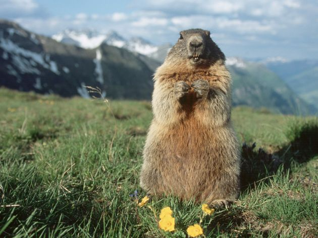 marmot on his back legs