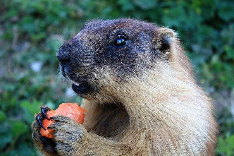 Russian Marmot